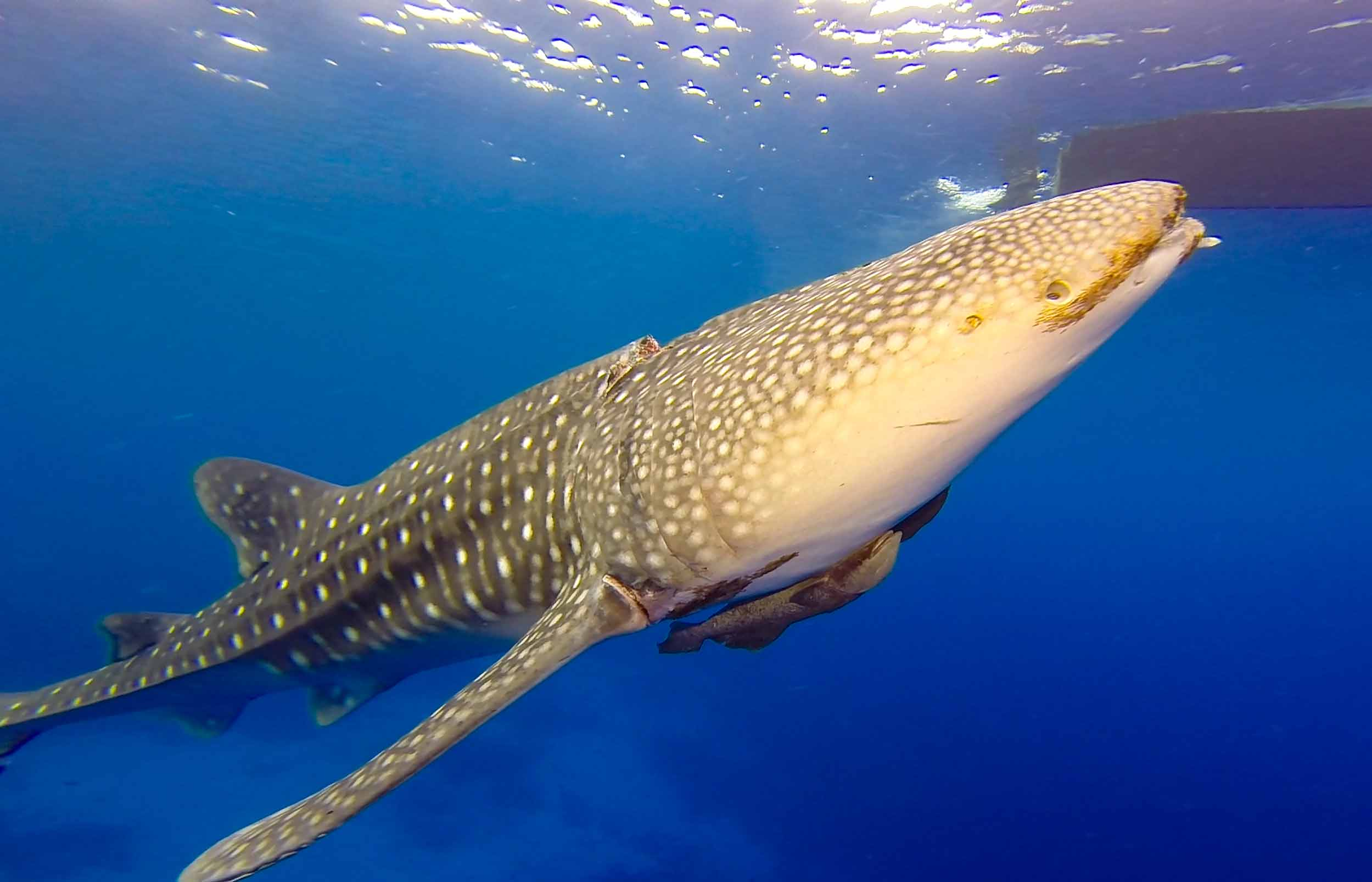 whale shark rescue seadoors